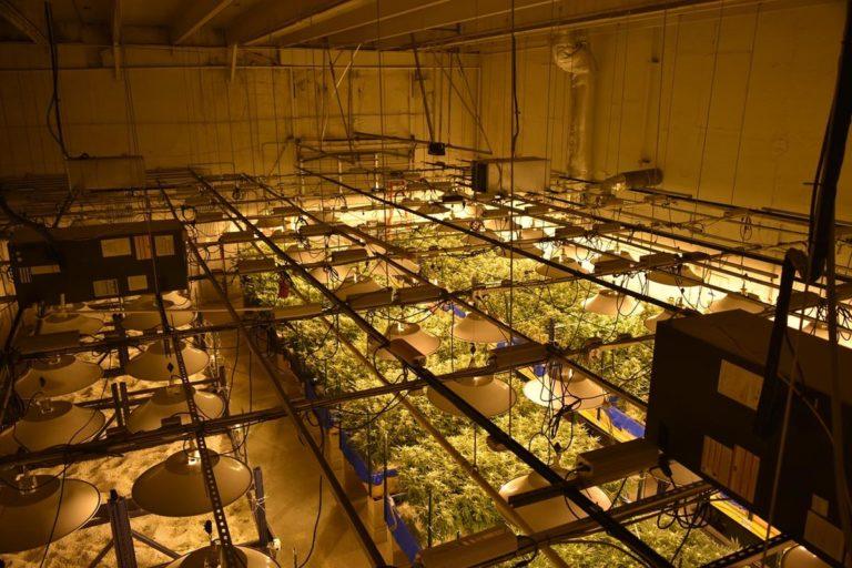 Hodowla marihuany – lampy dla zdrowia roślin